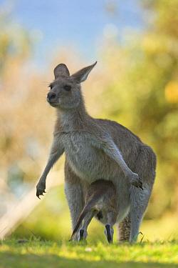 Eastern Grey Kangaroo (Macropus giganteus) female with joey crawling back into her pouch, Yuraygir National Park, New South Wales, Australia. Sequence 8 of 11  -  Yva Momatiuk & John Eastcott