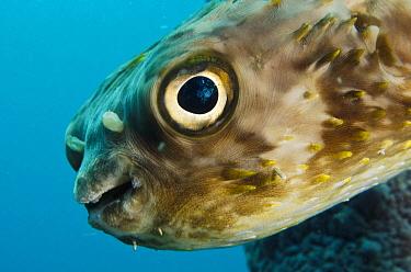 Long-spine Porcupinefish (Diodon holocanthus) in Stove Pipe Sponge (Aplysina archeri), Bonaire, Netherlands Antilles, Caribbean  -  Pete Oxford