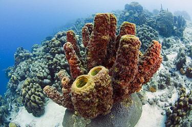 Brown Tube Sponge (Agelas conifera), Bonaire, Netherlands Antilles, Caribbean  -  Pete Oxford