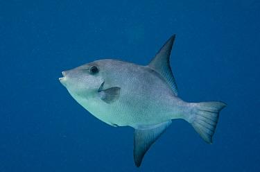 Ocean Triggerfish (Canthidermis sufflamen), Bonaire, Netherlands Antilles, Caribbean  -  Pete Oxford