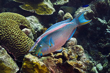 Queen Parrotfish (Scarus vetula) feeding on coral with Trumpetfish (Aulostomus maculatus) nearby waiting for scraps, Bonaire, Netherlands Antilles, Caribbean  -  Pete Oxford