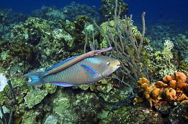 Queen Parrotfish (Scarus vetula) and Trumpetfish (Aulostomus maculatus), Bonaire, Netherlands Antilles, Caribbean  -  Pete Oxford