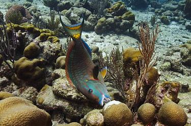 Stoplight Parrotfish (Sparisoma viride) feeding on coral, Bonaire, Netherlands Antilles, Caribbean  -  Pete Oxford