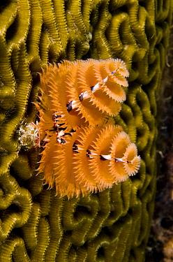 Christmas Tree Worm (Spirobranchus giganteus) filter feeding while attached to Brain Coral (Diploria labyrinthiformis), Bonaire, Netherlands Antilles, Caribbean  -  Pete Oxford
