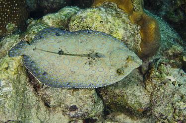 Peacock Flounder (Bothus lunatus) swimming over coral reef, Bonaire, Netherlands Antilles, Caribbean  -  Pete Oxford