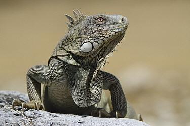 Green Iguana (Iguana iguana), Washington Slagbaai National Park, Bonaire, Netherlands Antilles, Caribbean  -  Pete Oxford