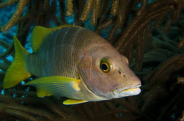 Schoolmaster (Lutjanus apodus), Bonaire, Netherlands Antilles, Caribbean  -  Pete Oxford