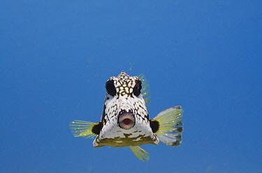 Smooth Trunkfish (Lactophrys triqueter), Bonaire, Netherlands Antilles, Caribbean  -  Pete Oxford