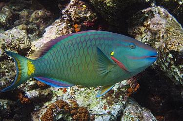 Stoplight Parrotfish (Sparisoma viride), Bonaire, Netherlands Antilles, Caribbean  -  Pete Oxford