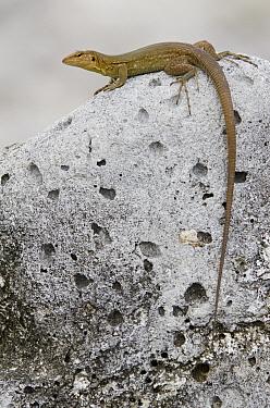 Bonaire Whiptail (Cnemidophorus murinus ruthveni) female, Bonaire, Netherlands Antilles, Caribbean  -  Pete Oxford