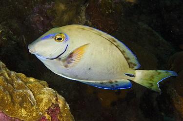 Ocean Surgeonfish (Acanthurus bahianus), Bonaire, Netherlands Antilles, Caribbean  -  Pete Oxford