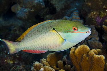 Red-banded Parrotfish (Sparisoma aurofrenatum), Bonaire, Netherlands Antilles, Caribbean  -  Pete Oxford