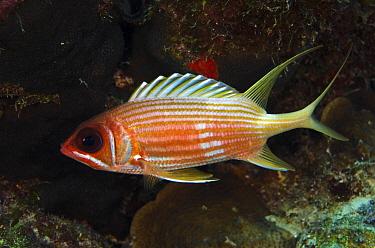Miss Darlington (Holocentrus rufus), Bonaire, Netherlands Antilles, Caribbean  -  Pete Oxford