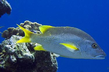 Dog Teeth Snapper (Lutjanus jocu), Bonaire, Netherlands Antilles, Caribbean  -  Pete Oxford