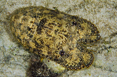 Sculptured Slipper Lobster (Parribacus antarcticus), Bonaire, Netherlands Antilles, Caribbean  -  Pete Oxford