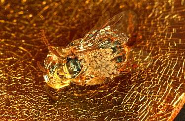 Sweat Bee (Halictidae) preserved in amber, this roughly 20-million-year old bee is carrying orchid pollen which helped scientists determine the general age of the orchid family as 100 million years ol...  -  Christian Ziegler