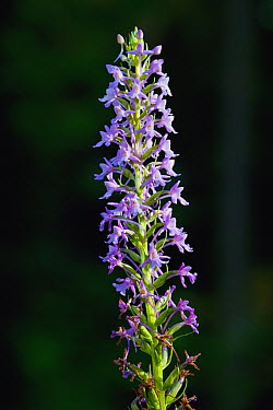 Fragrant Orchid (Gymnadenia conopsea) flowering near Lake Constance, southern Germany  -  Christian Ziegler