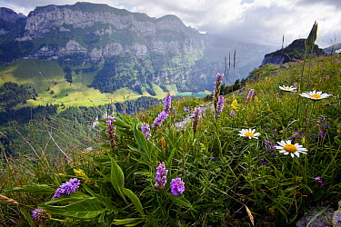 Heath Spotted Orchid (Dactylorhiza maculata) flowers on mountain, Santis Mountain, Alps, Switzerland  -  Christian Ziegler