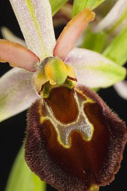 Morisi Orchid (Ophrys morisii) flower, Sardinia, Italy  -  Christian Ziegler