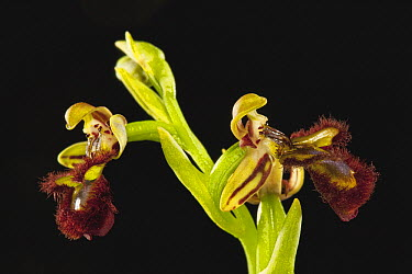 Mirror Orchid (Ophrys speculum) flowers, Sardinia, Italy  -  Christian Ziegler