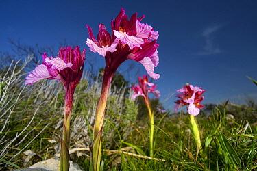 Butterfly Orchid (Anacamptis papilionacea) flowers in macchia shrubland, Sardinia, Italy  -  Christian Ziegler