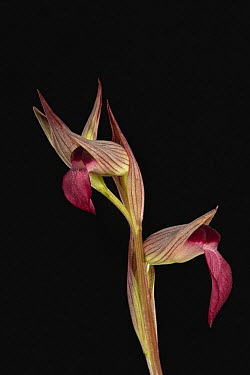 Tongue Orchid (Serapias lingua) flowers, Sardinia, Italy  -  Christian Ziegler