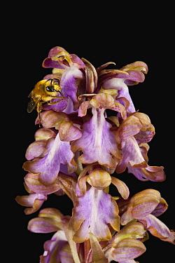Orchid (Himantoglossum robertianum) flowers with bee pollinator, Sardinia, Italy  -  Christian Ziegler