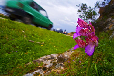 Butterfly Orchid (Anacamptis papilionacea) flowering by road, Sardinia, Italy  -  Christian Ziegler