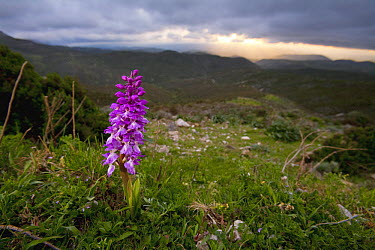Early Purple Orchid (Orchis mascula) flowering in alpine meadow, Sardinia, Italy  -  Christian Ziegler