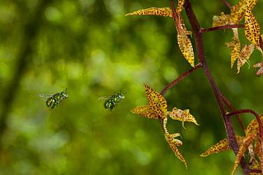 Orchid (Gongora leucochila) flowers with euglossine bees approaching its bucket blossom, Gamboa, Panama  -  Christian Ziegler