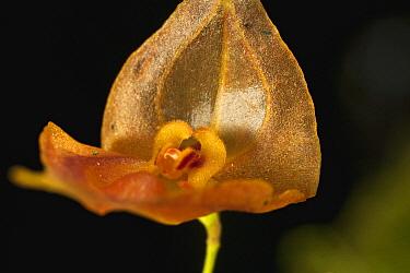 Orchid (Lepanthes sp) flower, Finca Dracula Orchid Sanctuary, western Panama  -  Christian Ziegler