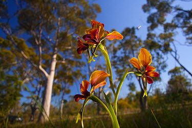 Pansy Orchid (Diuris magnifica) flowers in eucalyptus forest, Perth, western Australia  -  Christian Ziegler