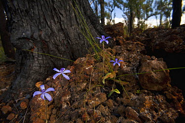 Blue Velvet Orchid (Cyanicula sericea) flowering on base of tree burned by recent fire near Perth, western Australia  -  Christian Ziegler