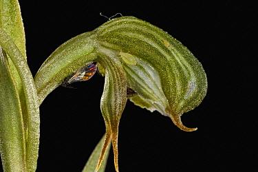Frog Greenhood (Pterostylis sargentii) flower, western Australia  -  Christian Ziegler