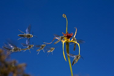 King Spider Orchid (Caladenia pectinata) flower swarmed by male parasitic wasps who interpret the flower�s red lip as female wasp, western Australia  -  Christian Ziegler