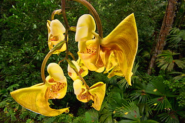 Bucket Orchid (Coryanthes panamensis) flowers, Gamboa, central Panama  -  Christian Ziegler