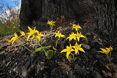 Cowslip Orchid (Caladenia flava) flowering in charcoal from fire near Perth, western Australia  -  Christian Ziegler