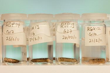 Brown Rat (Rattus norvegicus) tail samples for DNA testing for South Georgia Heritage Trust Rat Eradication Project, King Edward Point, South Georgia Island  -  Ingo Arndt
