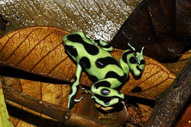 Green And Black Poison Dart Frog (Dendrobates auratus), Costa Rica  -  Hiroya Minakuchi