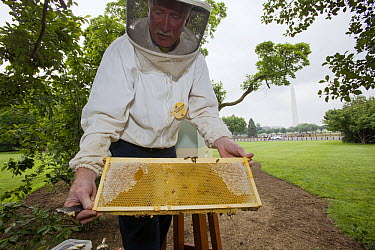 Honey Bee (Apis mellifera) hive brought in by Charlie Brandts, White House, Washington D.C.  -  Mark Moffett