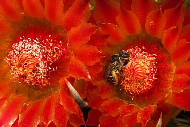 Cactus Bee (Diadasia sp) feeding on barrel cactus nectar, Tucson, Arizona  -  Mark Moffett