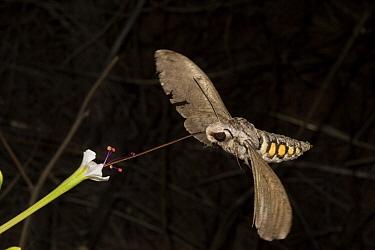 Five-spotted Hawkmoth (Manduca quinquemaculata) feeding on Longtube Four O'clock (Mirabilis longiflora) nectar, Arizona  -  Mark Moffett
