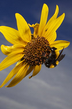 Bumblebee (Bombus sp) feeding on sunflower nectar near Sonoita, Arizona  -  Mark Moffett