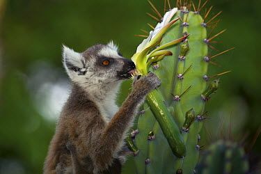 Ring-tailed Lemur (Lemur catta) eating cactus flower, Berenty, Madagascar  -  Mark Moffett