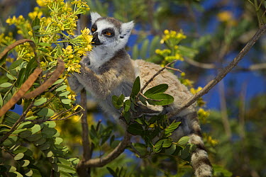 Ring-tailed Lemur (Lemur catta) feeding on flower nectar, Berenty, Madagascar  -  Mark Moffett