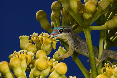Ornate Day Gecko (Phelsuma ornata) feeding on nectar from Bois Boeuf (Gastonia mauritiana) blossoms, Mauritius  -  Mark Moffett