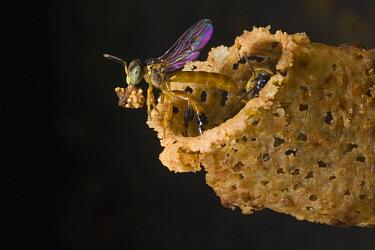 Bee (Tetragonisca angustula) exiting wax nest entrance, Santa Rita, Panama  -  Mark Moffett