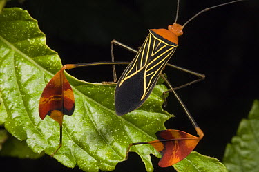 Squash Bug (Coreidae), Santa Rita, Panama  -  Mark Moffett