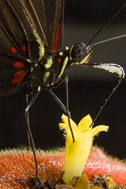 Heliconius Butterfly (Heliconius eratonia) feeding on nectar of Hot Lips (Psychotria poeppigiana) blossom, Panama  -  Mark Moffett