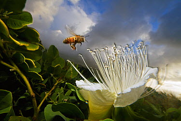 Honey Bee (Apis mellifera) approaching rare Maiapilo (Capparis sandwichiana) flower, Kauai, Hawaii  -  Mark Moffett
